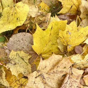 Närbild på gula höstlöv.