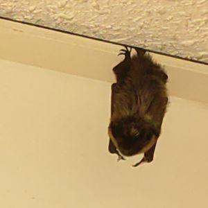 Caj fick besök av den här fladdermusen. Vad är bästa sättet att få se fladdermöss ute i naturen, undrar han?