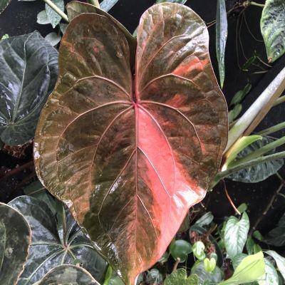 En rosabrokig växt, anthurium ace of spades.
