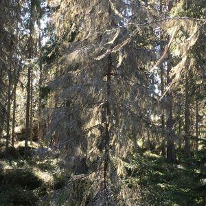 Bild på en skog där en gran är helt täckt av skägglav.