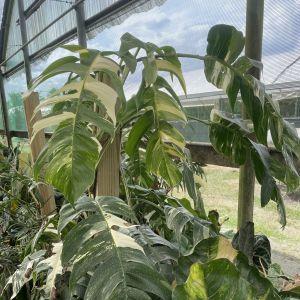 En stor krukväxt med flikiga, brokiga blad, i växthusmiljö.
