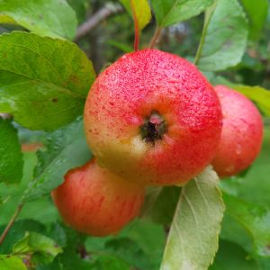 Tre röda regnvåta äpplen på en gren