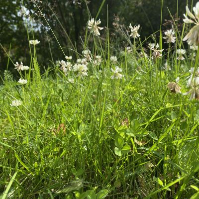 Lähikuva nurmikosta, jota ei ole leikattu koko kesänä.