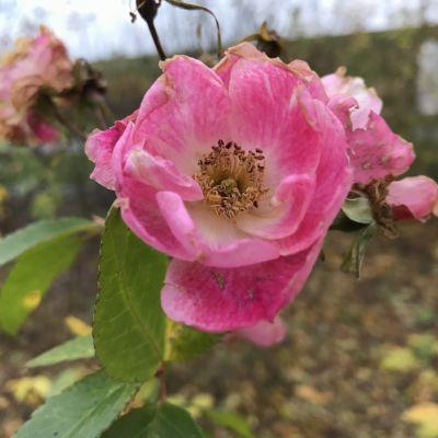 Ruusu kukkii Joensuussa marraskuussa 2020.