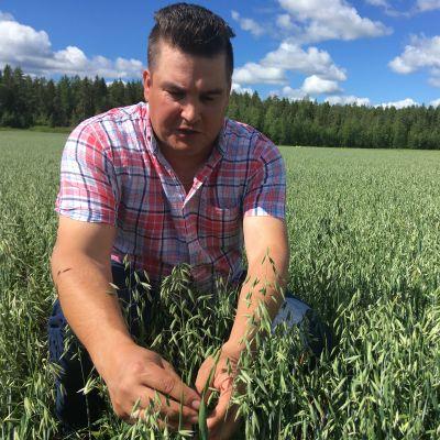 Pekka Kultti tutkii pellolla kauranjyvän kokoa.