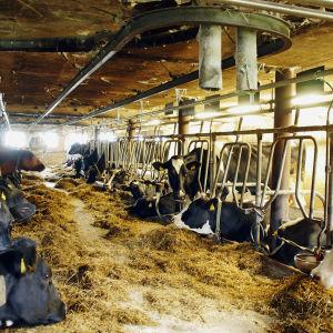 Mjölkkor i båsladugård i Liljendal