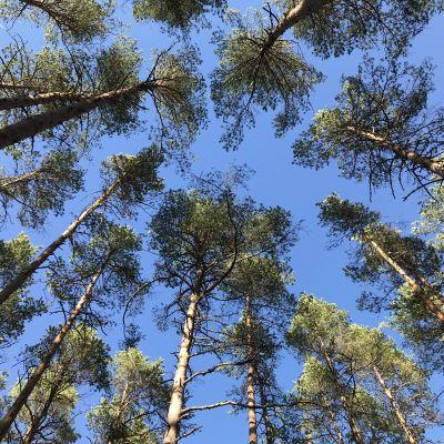 Mäntymetsä alhaalta ylöspäin kuvattuna, kuvassa puiden latvustoja sinistä taivasta vasten.