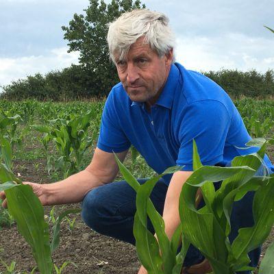 Lantbrukaren Hendrik Vandamme visar hur torkat farit fram med majsordlingarna i belgiska Oostende.