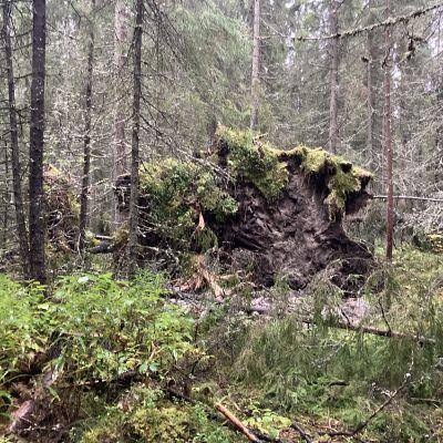 Kaatunut puu metsässä
