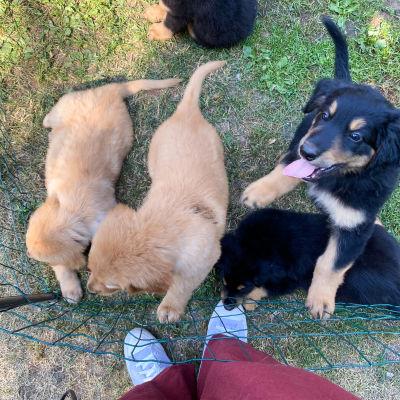 Flera nyfikna hundvalpar i en inhägnad på en gräsmatta.
