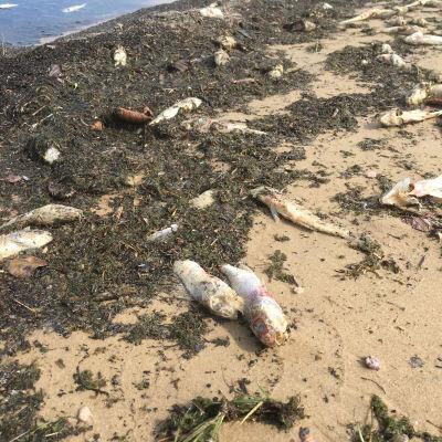 Kuolleita kaloja Pyhäjärven rannalla
