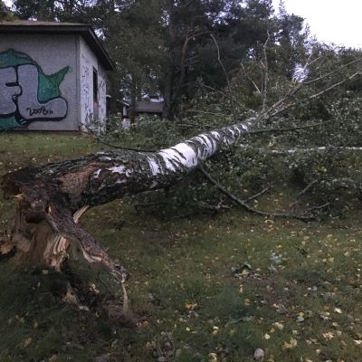 Aila-myrskyn kaatama puu Vaasassa