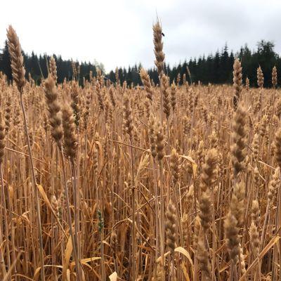 Vehnäpelto, joka on tuleentunut kuivan kesän myötä tavallista aikaisemmin