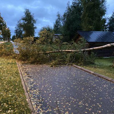Aila-myrskyn kevyenliikenteenväylälle kaatama puu Kokkolassa