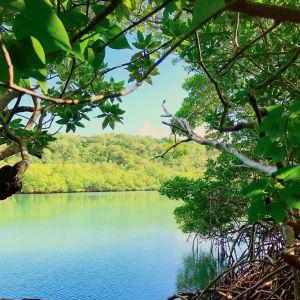 Mangroveskogar vid kusten i södra Martinique.
