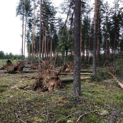 Stormen Päivö fällde tallar i Libelits i Norra Karelen.