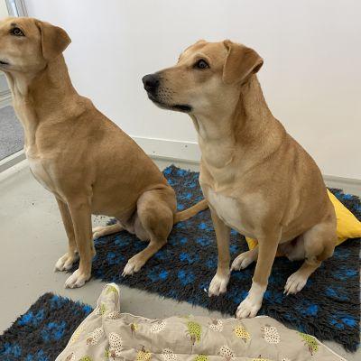 Kaksi vaalenruskeaa koiraa lemmikkieläinhotellissa.
