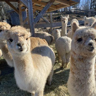 Alpakoita Cultivo Alpacas- tilalla Ypäjäjällä