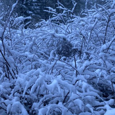 Lunta satoi useita senttejä Kainuuseen toukokuun toisella viikolla 2021, kuvassa pensaan päälle kertynyttä lunta