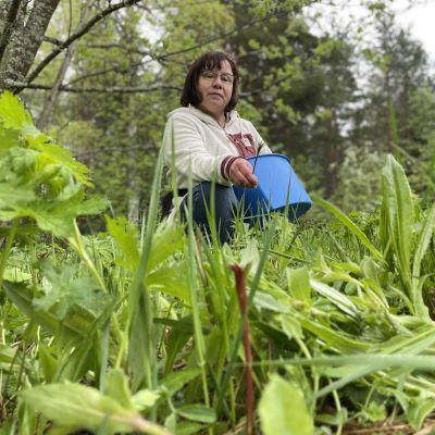 Syötäviä luonnonkasveja löytyy nyt paljon - maitohorsman voi napsia vaikka salaattiin