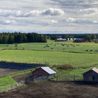 Lehmät laiduntavat pellolla.