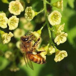 mehiläinen imee mettä punaherukan kukasta
