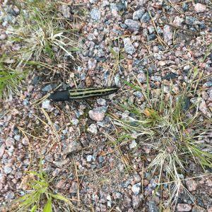 Eivor Biese och sonen Max upptäckte denna snigel på en skogspromenad i Kyrkslätt. Den var ca. 10-12 cm lång. Vad kan det vara? SVAR: Detta är en gråsvart kölsnigel.