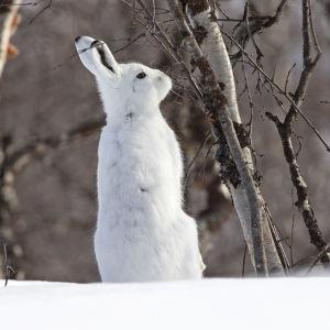 Metsäjänis tunturikoivikossa Kilpisjärvellä toukokuussa.