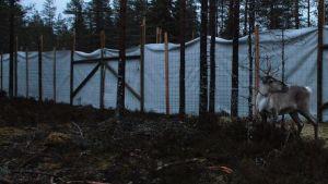 En skogsren står i en inhägnad i Storå.