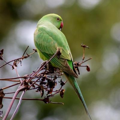 Grön fågel med röd näbb sitter på en brun gren.