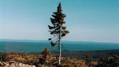 Världens äldsta kända träd, Old Tjikko.