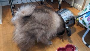 En hund leker med en kastrull på huvudet.
