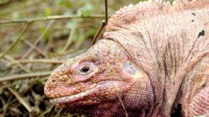 Den ljusröda iguanen på Galapagos hotas av vulkanutbrott.