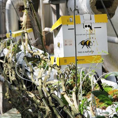 Kaksi pahvista kimalaispesää kasvihuoneen hyllyllä.
