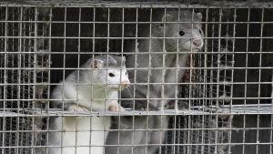 Två minkar i en bur i Danmark.