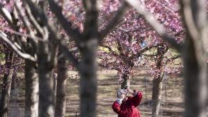Valokuvaaja kukkivassa kirsikkapuistossa.