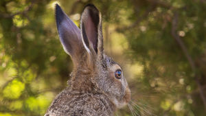 En hare sitter på en klippa, suddig lave och mossa i förgrunden