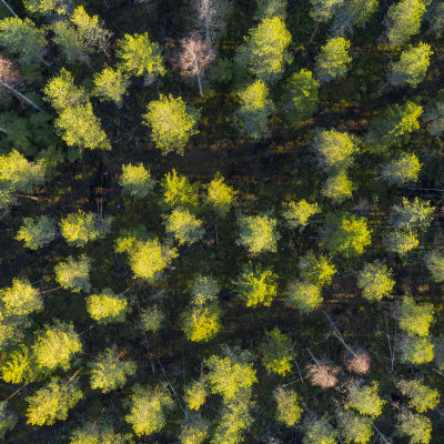 metsä ylhäältä päin siistitty harvaa metsää