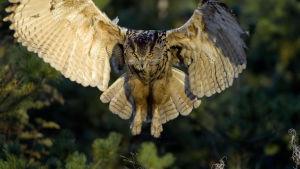Huuhkaja laskeutuu siivet levällään metsämaisemassa