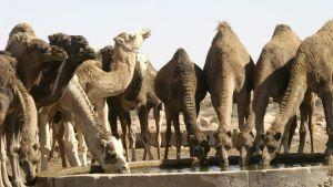 Kameler dricker vatten i Sahara.