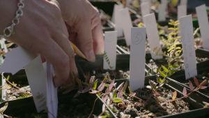 Plantor packas inför plantering.