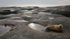 Hallikuutti on elämänsä ensi hetkistä ankaran elinympäristön armoilla.