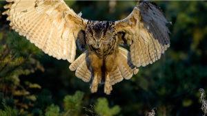Huuhkaja on Euroopan suurin pöllö. yle tv1
