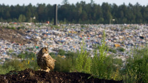 Kaatopaikkojen rottalaumoista riitti huuhkajille ruokaa ja lintukanta pääsi kasvamaan. Kuva: Mika Honkalinna. yle tv1