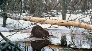 Majava on saavuttanut kuuluisuutta metsurina ja luomalla taidokkaita pesä- ja patorakennelmia.