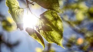 Aurinko paistaa koivunlehtien läpi.