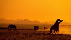 Hevosia auringonlaskussa.