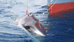 En harpunerad val dras ombord ett japanskt valfartyg.