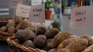 Eri perunalajikkeita on pöydällä koreissa ja niissä on lajikkeet merkattu pienillä kylteillä.