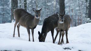 Från urpsrungligen fem donerade vitsvanskalvar har stammen vuxit kraftigt i södra Finland.
